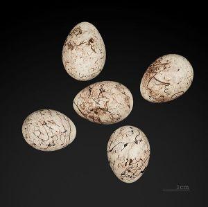 Eieren geelgors: Bron wikipedia